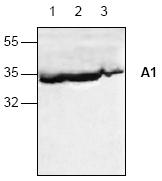 AP00149PU-N - Bcl-2-like 5