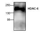 AP00275PU-N - HDAC6