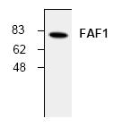 AP00105PU-N - FAF1