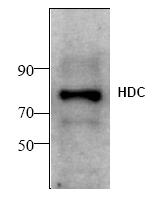 AP00336PU-N - Histidine decarboxylase