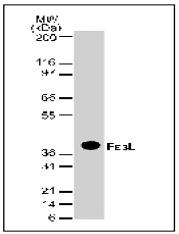 AM00182PU-N - CD178 / Fas Ligand