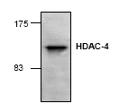 AP00273PU-N - HDAC4