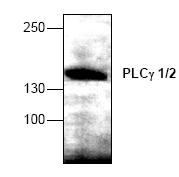AP00342PU-N - PLCG1+PLCG2
