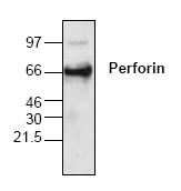 AP00091PU-N - Perforin 1 / PRF1