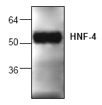 AP00333PU-N - HNF4 alpha / TCF14