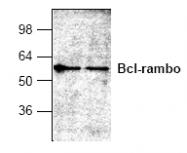 AP00317PU-N - Bcl-2-like 13
