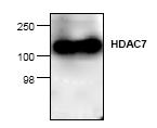 AP00276PU-N - HDAC7
