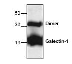 AP00267PU-N - Galectin-1