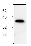 AP00018PU-N - MCL1