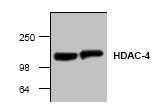 AP00288PU-N - HDAC4
