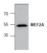 AP00328PU-N - MEF2A