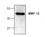 AP00346PU-N - MMP-12