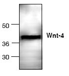 AP00247PU-N - WNT4