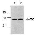 AP00250PU-N - CD269 / BCMA