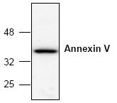 AP00113PU-N - Annexin A5 / ANXA5