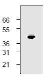 AP00156PU-N - CD191 / CCR1