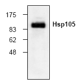 AP00139PU-N - Heat shock protein 105 / HSP105