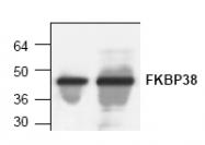 AP00313PU-N - FKBP8 / FKBP38