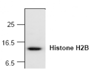 AP00282PU-N - Histone H2B
