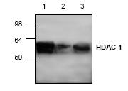 AP00270PU-N - HDAC1