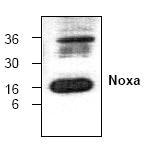AP00312PU-N - NOXA
