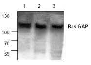 AP00093PU-N - RASA1 / RasGAP