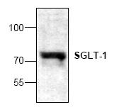 AP00343PU-N - SGLT1 / SLC5A1