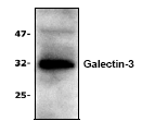 AP00262PU-N - Galectin-3