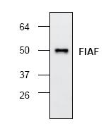 AP00211PU-N - ANGPTL4 / FIAF