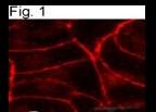 SP5260P - Cannabinoid receptor 1
