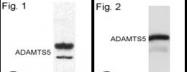 SP5185P - ADAMTS5