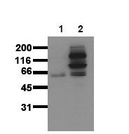 AM00016PU-N - Catenin beta-1