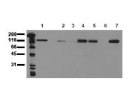 AM00010PU-N - CD324 / Cadherin-1