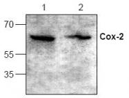 AP00118PU-N - Cyclooxygenase 2