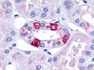 SP4045P - Serotonin receptor 1F (HTR1F)