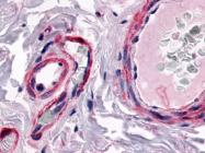 SP4083P - CGRP type 1 receptor / CRLR