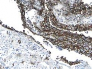 AM01133PU-N - Podoplanin