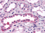 SP4144P - CD344 / FZD4 / Frizzled-4