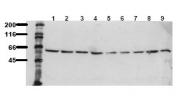 AM00107PU-N - AKT1 / PKB