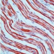AM00511PU-N - Tropomyosin