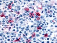 SP4356P - Histamine H4 receptor