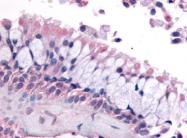 SP4433P - Olfactory receptor 6K3