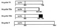 R1001 - Cyclin T1