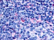 SP4510P - GPR65 / Psychosine receptor