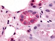 SP4539P - Vomeronasal type-1 receptor 1 (VN1R1)