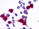 SP4547P - GPR137B / TM7SF1