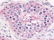 SP4573P - GPR18 / NAGly receptor