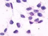SP4670P - Histamine H4 receptor