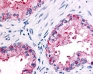 SP4730P - Olfactory receptor 51E2