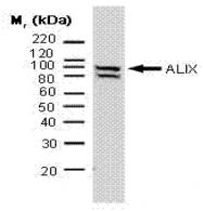 AM01318PU-N - ALIX / PDCD6IP